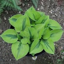 Rare Hosta Garden Perennial Plantain Lily Shade Plant (200 Pcs) – Self Sufficient Soul Ground Cover Plants, Plantain Lily, Plants, Grasses Garden, Lily Flower, Perennials, Lily Flower Seeds, Ornamental Plants, Flower Seeds