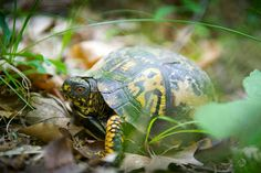 Gr8LakesCamper: Nice story on Michigan DNR is protecting Michigan box turtles, with some help from man's best friend. http://gr8lakescamper.blogspot.com/2013/08/showcasing-michigan-dnr-protecting.html