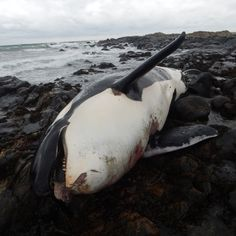 The future of UK's orca population is in jeopardy after one of the country's only known resident killer whales was found dead off a Scottish island.  The female killer whale, identified as 'Lulu' by orca specialists, was stranded on the Isle of Tiree on January 3.   She belonged to a small and prominent group in Britain and Ireland's only known resident population of killer whales, which is feared to be at risk of extinction, according to Hebridean Whale and Dolphin Trust (HWDT).