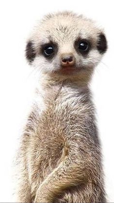 Meerkat happy animals, nature animals, cute baby animals, animals and pets, funny Happy Animals, Nature Animals, Felt Animals, Cute Baby Animals, Animals And Pets, Funny Animals, So Cute Baby, Cute Creatures, Beautiful Creatures