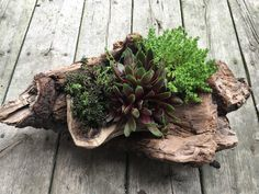 DIY Projects Astounding 30 Top and Unique DIY Succulent Garden Design For Your Home Decoration dexor Succulent Planter Diy, Hanging Succulents, Succulent Gardening, Cacti And Succulents, Container Gardening, Planter Ideas, How To Water Succulents, Succulents In Containers, Driftwood Planters