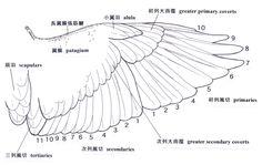 鳥の羽根 構造 - Google 検索