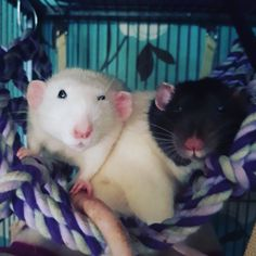 That face... #aww #cute #rat #cuterats #ratsofpinterest #cuddle #fluffy #animals #pets #bestfriend #ittssofluffy #boopthesnoot