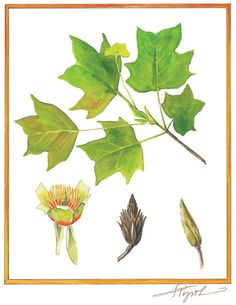 Tuliptree, Illustration by Adelaide Tyrol