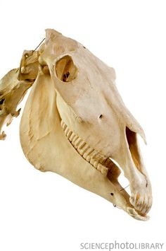 Horse skull. Side view of the skull of a horse (Equus caballus).