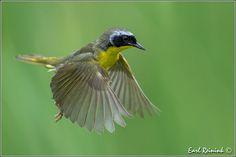 Common yellowthroat | Flickr - Photo Sharing!