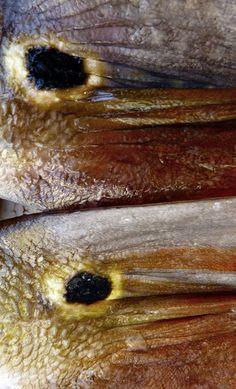 A cauda do peixe Tucanaré, sempre parecem olhos a nos espreitar