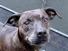 GONE --- TO BE DESTROYED 10/30/14 Manhattan Center -P  My name is CEE CEE. My Animal ID # is A1018586. I am a female br brindle and white pit bull mix. The shelter thinks I am about 8 YEARS old.  I came in the shelter as a OWNER SUR on 10/24/2014 from NY 10468, owner surrender reason stated was NO TIME.   https://www.facebook.com/photo.php?fbid=894734450539435