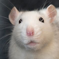 This rat reminds me of my rat Moonstone. Both have this aura of wisdom.