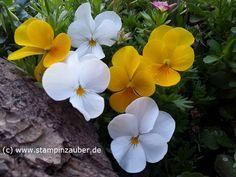 Stiefmütterchen Fotograf & Copyright by Silvi Provolija  Pansy, Pansies, Spring, Springflower  http://www.stampinzauber.de