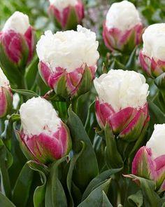Herkullisen näköinen kuin jäätelötötterö! Ice Cream -lajikkeen valkoisen, kerratun kukinnon alimmat terälehdet ovat tummat pinkit. Näyttävä ilmestys yksittäin istutettuna tai erilaisissa pensas- ja perennaryhmissä. Asia, Ice Cream, Rose, Flowers, Plants, Summer, No Churn Ice Cream, Pink, Summer Time