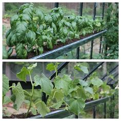 Growing food in gutters is an awesome idea!