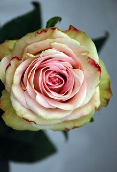 The lovely bi-coloured pink Upper Secret rose has a lovely vintage look. Perfect for #wedding flowers.