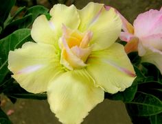 """Desert Rose (Adenium Obesum) """"Lemon sun"""""""