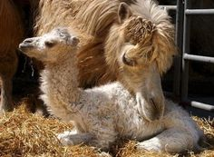 Camel and its Mother in the Zoo