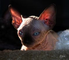 Devon Rex  gato Sphynx-Esta curiosa raça surgiu na década de 60, e é muito parecido – embora não tenha parentesco – com as raças Cornish e Rex Alemão. O que é diferente nesta raça é que ele tem pouquíssimos pêlos superficiais, e é coberto pelos pêlos menores dos gatos, que são enrolados. A raça também é característica pelos olhos e orelhas grandes. Os gatos desta raça são ativos, brincalhões e amigáveis, e gostam de ser carregados no ombro dos donos, como papagaios.