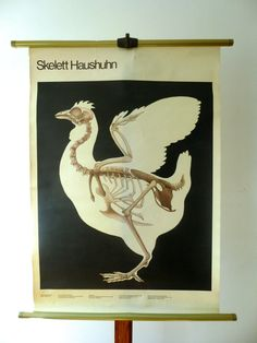 Vintage Biology Pull Down Chart - Large Chicken Skeleton Print - Animal X-Ray Print - Berlin 1983 GDR