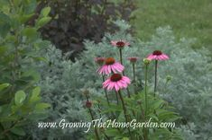 Echinacea in the Garden - Why You Should Plant Coneflowers! - Growing The Home Garden Bird Bath Garden, Rain Garden, Balinese Decor, The Clumps, Zinnias, Cool Plants, Amazing Flowers, Botanical Gardens, Garden Plants