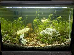 Aquarium design my akvaryum sesiflora karides bacopa monnieri gertrudae decorasyon decoration