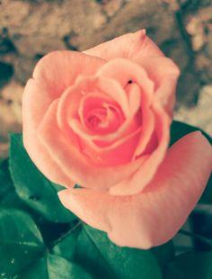 Rosa, Rosa.