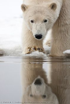 Polar bear on the snow covered barrier island in the Arctic National Wildlife Refuge.