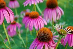 Echinacea Really Works. Echinacea, pronounced eck-uh-NAY-shuh, is an American herb. Native to the mainland United States, echinacea is not found in the wild anywhere else in the world except for a few prairies in southern Canada. Ulcer Remedies Mouth, How To Boost Your Immune System, Stuff To Do, Things To Do, Natural Antibiotics, Samos, Influenza, Tips Belleza, Home Remedies
