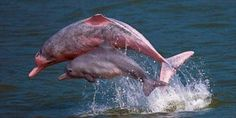 Save the Hong Kong Pink Dolphins. https://secure.avaaz.org/en/petition/Save_the_Hong_Kong_Pink_Dolphins/ @Sea Shepherd Conservation Society #defendconserveprotect