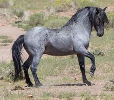 His name is Blue..blue roan mustang stallion