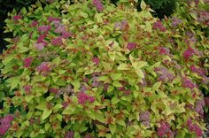 Magic Carpet Spirea is an easy to grow shrub for any location. Bright red leaves in early Spring turn to chartreuse, setting off the hot pink flowers. Garden Shrubs, Landscaping Plants, Landscaping Ideas, Magic Carpet Spirea, Town And Country Gardens, Full Sun Shrubs, Hot Pink Flowers, Summer Flowers