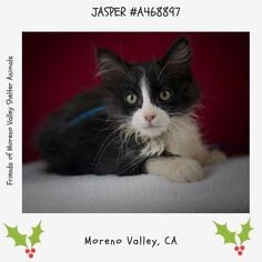 OWNER SURRENDER  JASPER #A468897 (Moreno Valley CA) male black and white Domestic Shorthair. The shelter thinks I am about 13 weeks old. I have been at the shelter since Dec 01 2016 and I am available for adoption now!  http://ift.tt/2hyewQL  Moreno Valley Animal Shelter at (951) 413-3790 Ask for information about animal ID number A468897  #adoptdontshop #savealifeadopt #sheltercats #catsofinstagram #CA #morenovalley #savealifeadoptapet #fosteracat #southerncalifornia #spayandneuter