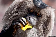 """© Blende, Mona Bauer (16 Jahre), Gib dem #Affen Mango!, Thema: """"Guten Appetit"""" #Fotowettbewerb #Tierfotografie"""