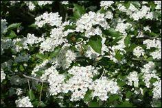 winter-king-hawthorn-flowers.jpg