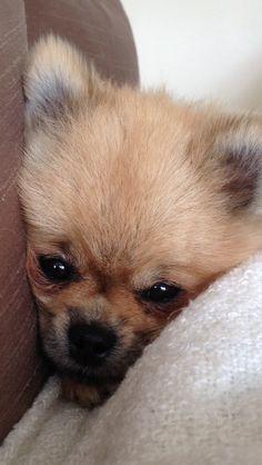 Pomeranian cwtch