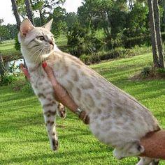 Bengal Cat Breed Photos - #bengal catbreeds - More Bengal Cat Breeds at Catsincare.com!