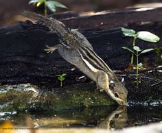 Cambodian Striped Squirrel (Tamiops rodolphii) by gary1844, via Flickr