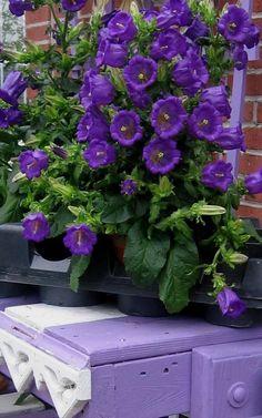 Purple flowers picture | Flowers Plants Trees Gardening photos