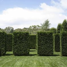 Cuppressocyparis leylandii Leighten Green - Lawn and hedges are all you need for a large gardens .How have you broken up your garden ? #landscapedesign  #landscaping  #peterfudge #lawn #hedges  #gardens