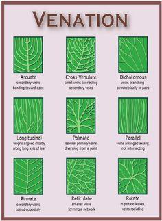 VEINATION Leaves download veining in leaves