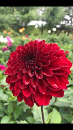 Dahlias, Rose, Flowers, Plants, Pink, Dahlia, Dahlia Flower, Plant, Roses