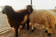 Woman's description of #sheep she was cheated out of leads #AbuDhabi police to counterfeiters