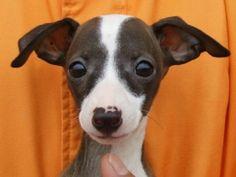 "Italian Greyhound -""AKA"" my most favorite  dog in the whole world"