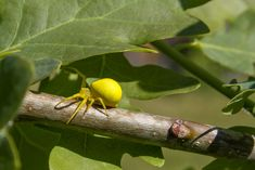 Insect Photography, Lemon