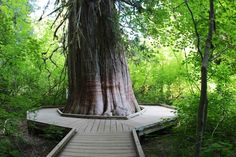 Grove of the Patriarchs loop hike, Rainier. An easy loop good for all skill levels.