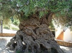 Somewhere between 2000 and 4000 years old, this tree is the oldest living thing on the planet. And is still producing olives. - MemePix