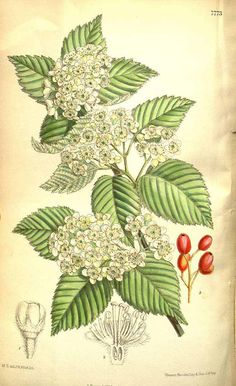 5272 Sorbus alnifolia (Siebold & Zucc.) C. Koch [as Pyrus alnifolia (Siebold & Zucc.) Franch. & Sav.]  / Curtis's Botanical Magazine, vol. 127 [ser. 3, vol. 57]: t. 7773 (1901) [M. Smith]