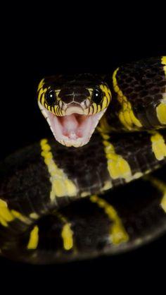 'Mangrove Snake' by Henrik Vind via 500px Boiga dendrophila, a mildly venomous colubrid native to Southeast Asia.