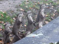 These baby otters jumping are so cute. Listen to the adorable sound of their tiny cheers.