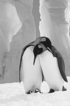 Penguins are so adorable. especially guins in love Penguin Love, Cute Penguins, Penguin Craft, All Gods Creatures, Sea Creatures, Beautiful Birds, Animals Beautiful, Animals And Pets, Cute Animals