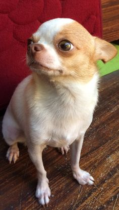 My Princess Chihuahua