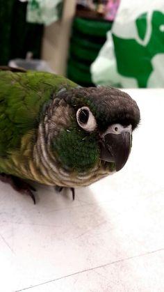 Green Cheek Conure.